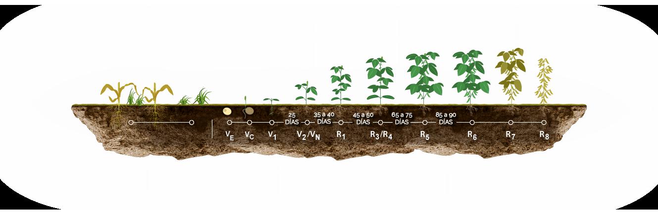 Etapas en el cultivo de Soja