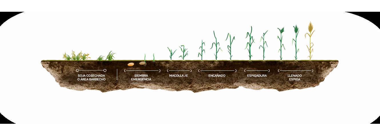 Etapas en el cultivo de Trigo