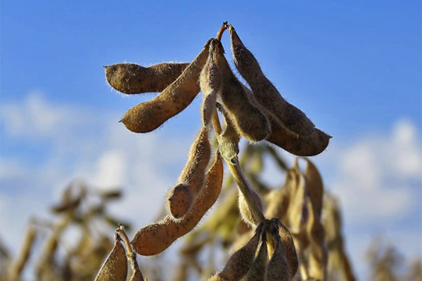 ¿Cuál es la importancia de un buen manejo del Boro en las etapas iniciales de la soja para un aumento de productividad?
