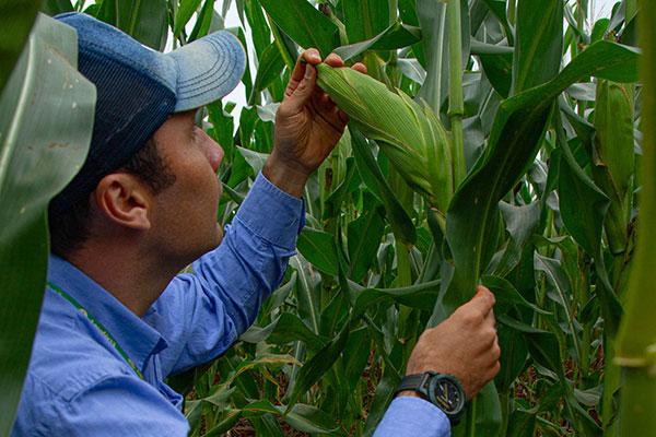 La importancia de los híbridos de maíz tolerantes a cigarritas